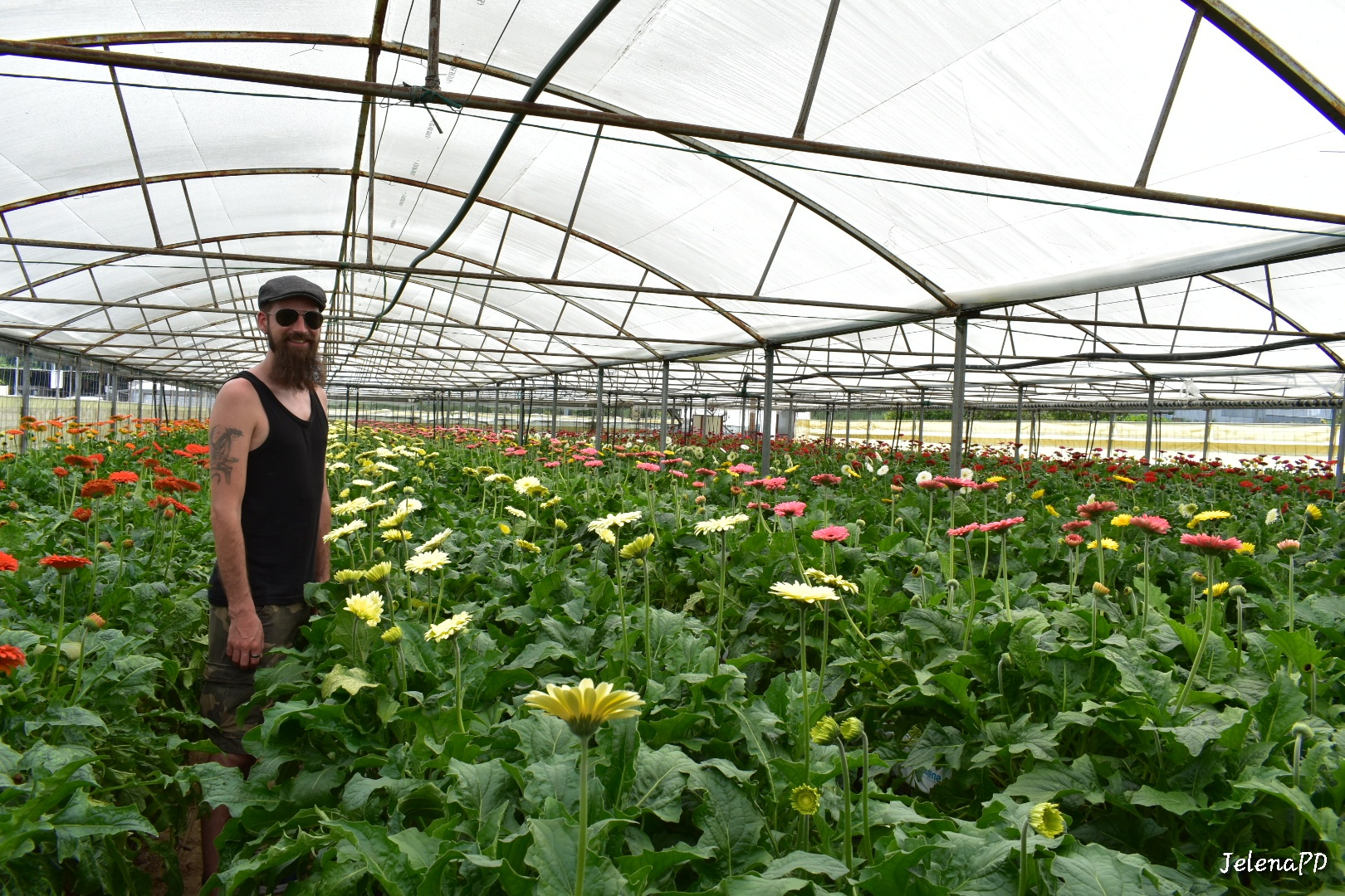 The husband in the midst of gerbera plantation.