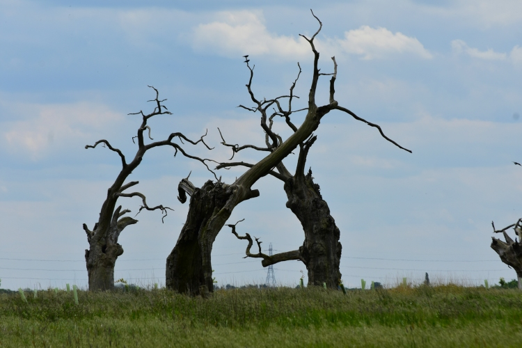 Tree petrified oak trees in Mundon. They look like three people standing in a circle, talking