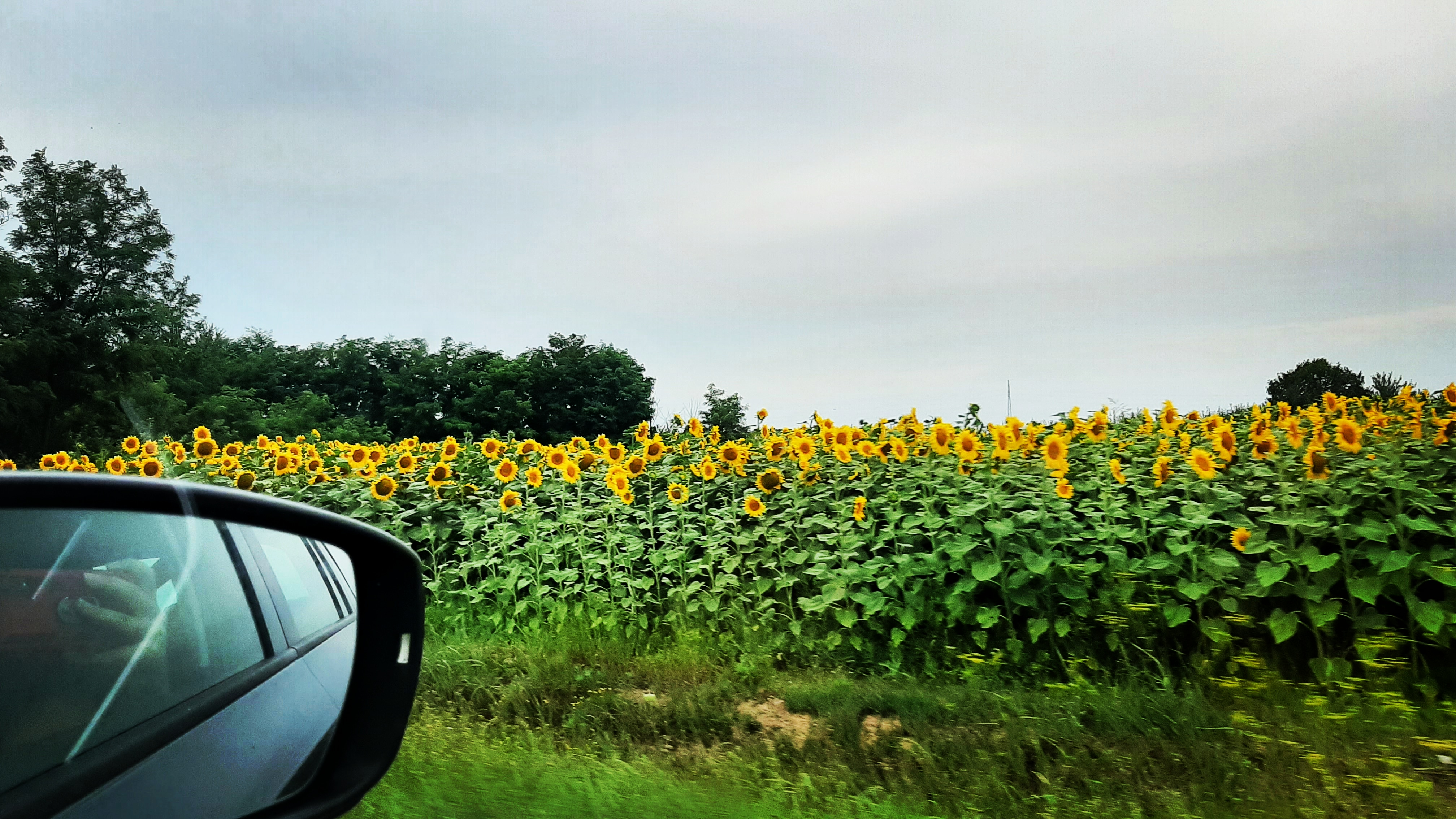 Driving through Slavonija in summer means driving through fields full of sunflowers